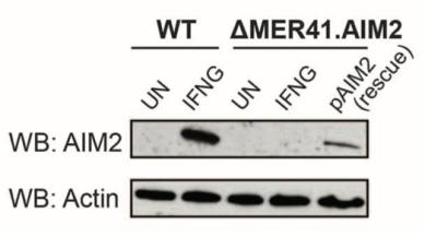 CRISPR deletion of MER41.AIM2